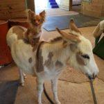 chihuahua, donkey, unusual friendship, animal friendship